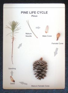 Pine Life Cycle Display