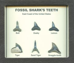 Fossil Shark Tooth Display