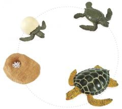 Sea Turtle (Green) Life Cycle Models Set