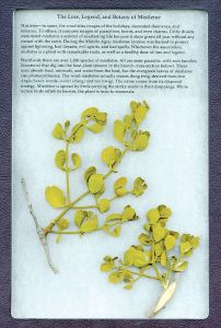 Plant Parasites Display: The Lore, Legend, and Botany of Mistletoe