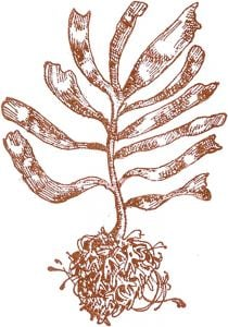 Brown Alga Rubber Stamp: Kelp