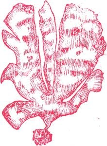 Red Alga Rubber Stamp: Leafy Shape