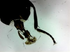 Housefly, whole mount (prepared microscope slide)