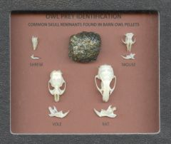 Owl Prey Identification Display