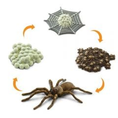 Spider Life Cycle Models Set