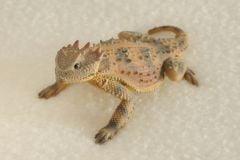 Round-Tailed Horned Lizard Sculpture (3