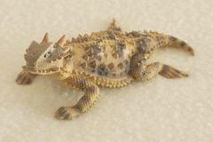 California Coastal Horned Lizard Sculpture (4
