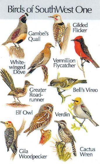 Southwestern Birds #1 (Birdsong Identiflyer Card)