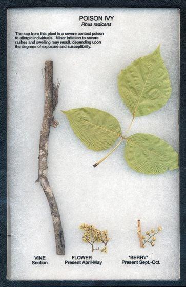 Poison Ivy Display