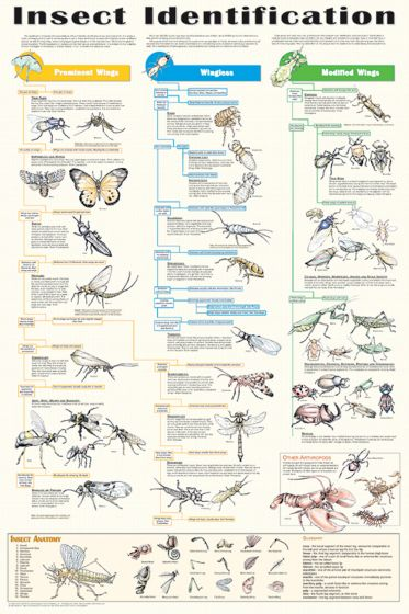 Insect Poster (Laminated)