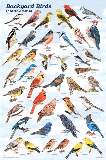 Backyard Birds Of North America Poster (Laminated)