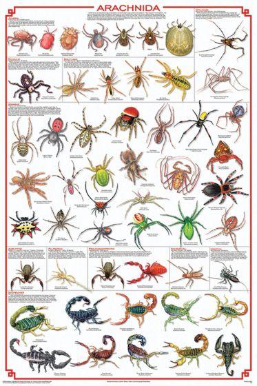 Arachnida Poster (Laminated)