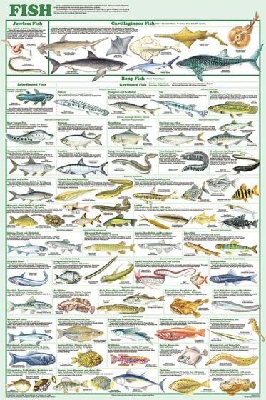 Fish Poster (Laminated)