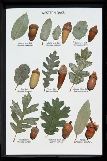 Oak Leaf And Acorn Display (Western Oaks).