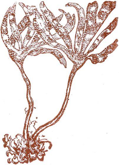Brown Alga Rubber Stamp: Sea Palm