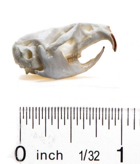 Vole (Meadow) Skull Replica