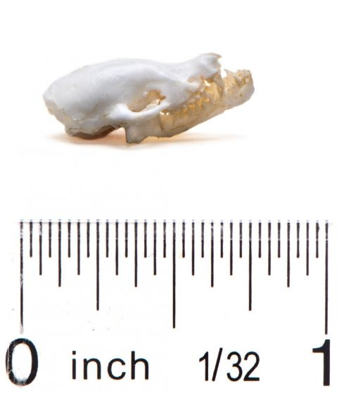 Bat (Little Brown) Skull Replica