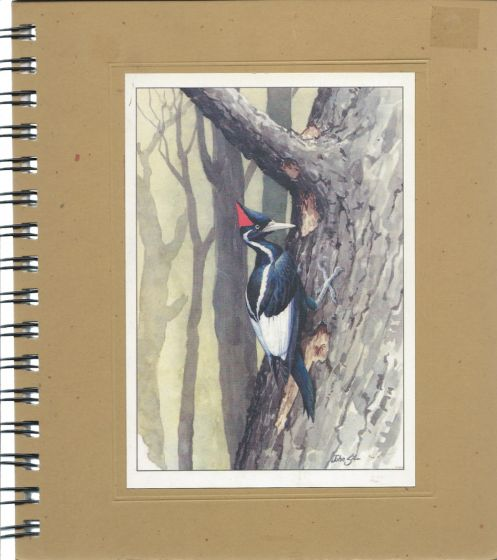 Ivory-Billed Woodpecker Journal