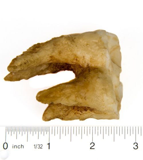 Hippopotamus Molar Tooth Replica