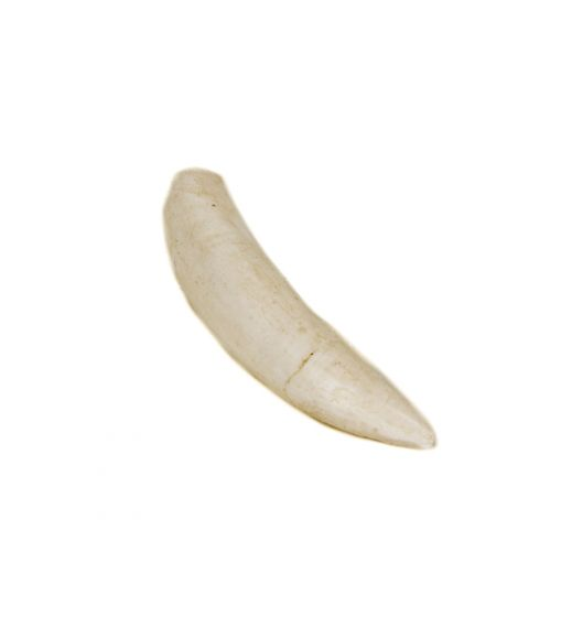 Alligator Tooth Replica