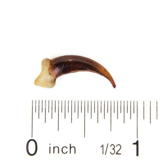 Fox (Gray) Claw Replica