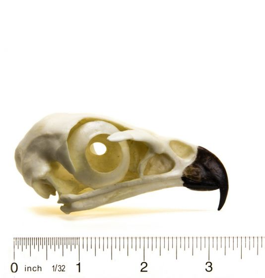 Hawk (Red-Tailed) Skull Replica