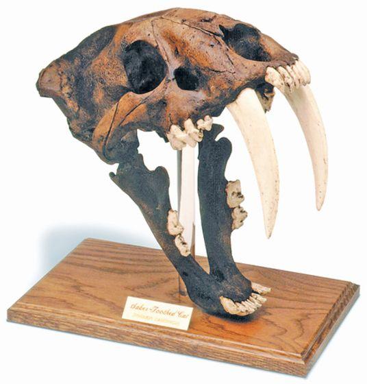 Smilodon Fossil Skull Replica (Dark Brown Tar Pit Finish)
