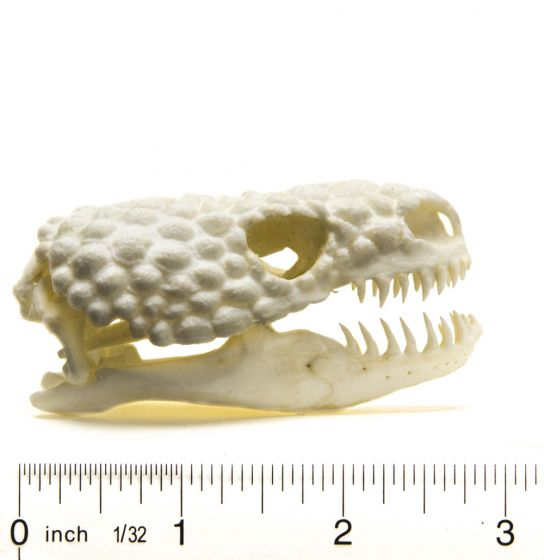 Gila Monster Skull Replica