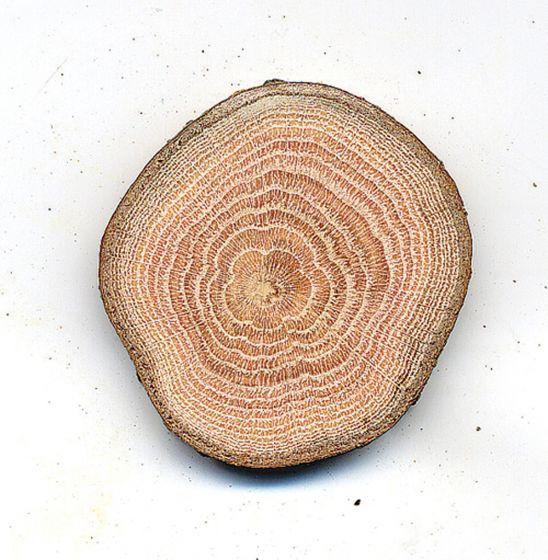 Oak (Red) Tree Round