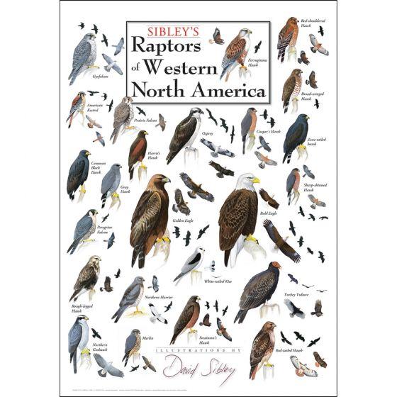 Sibley's Raptors of Western North America Poster