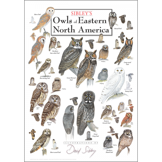 Sibley's Owls of Eastern North America Poster