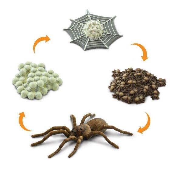 Spider Life Cycle Models Set