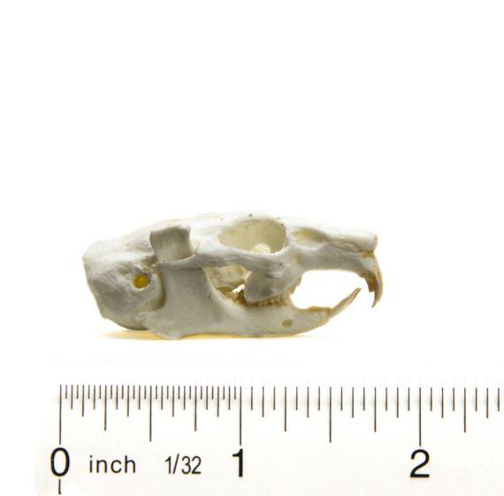 Pika (American) Skull Replica