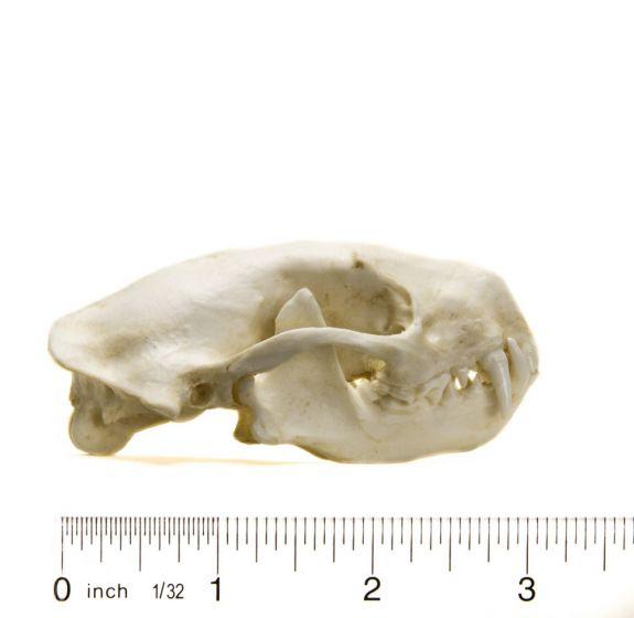 Skunk (Striped) Skull Replica