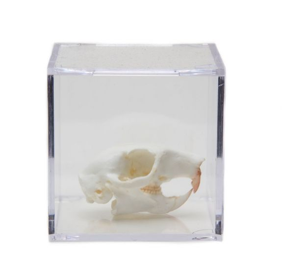 Rodent Skull Collection with Discounted Museum Display Cases