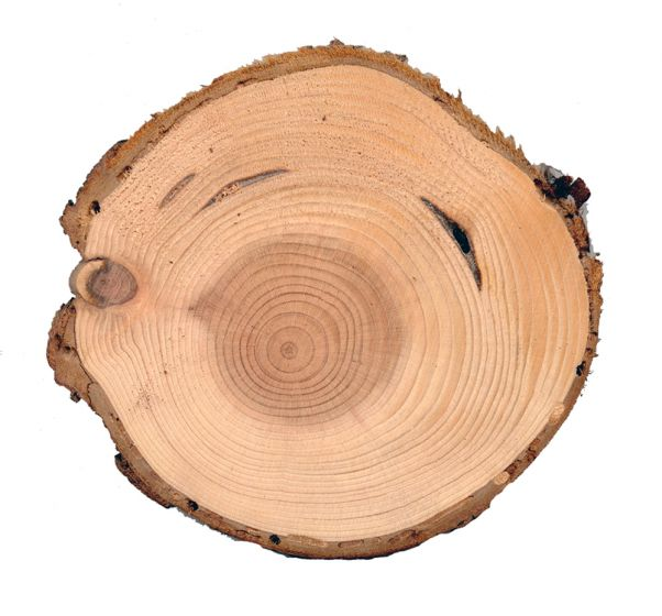 Redwood (Coast) Tree Round