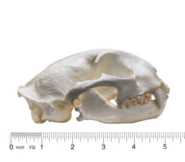 Ocelot Skull Replica