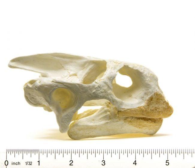 Tortoise (Galapagos) Skull Replica