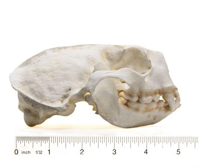 Otter (Sea) Skull Replica
