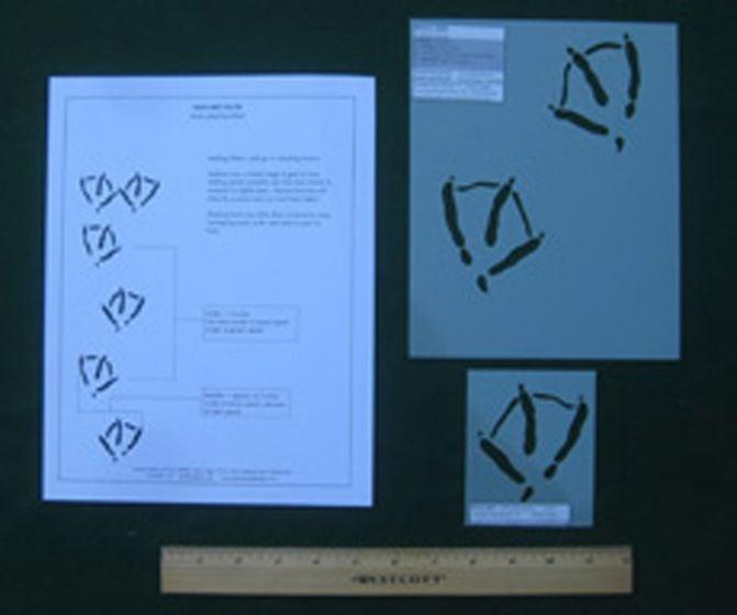 Mallard Duck Tracking Stencils