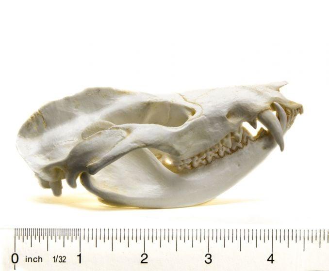 Opossum Skull Replica