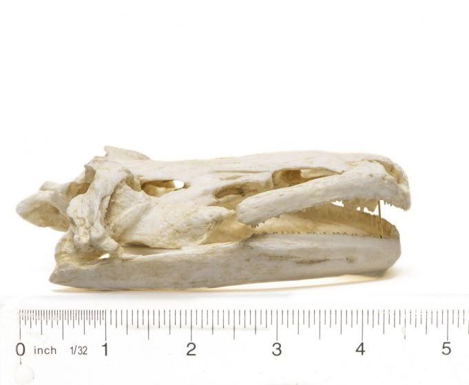 Salamander (Giant) Skull Replica