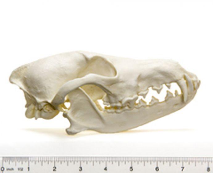 Coyote Skull Replica