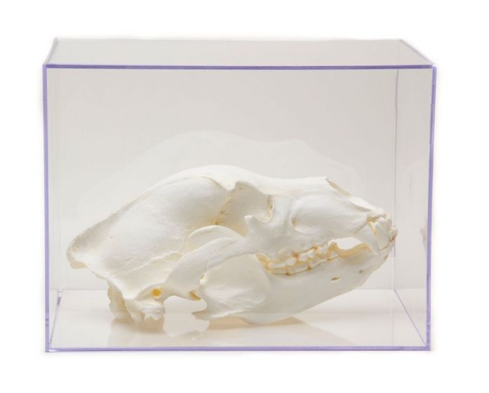 Bear Skull Collection with Discounted Museum Display Cases