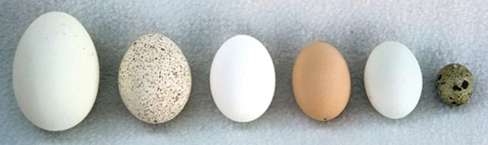 Bird Eggs Expansion Collection (Animal Signatures® Kit).