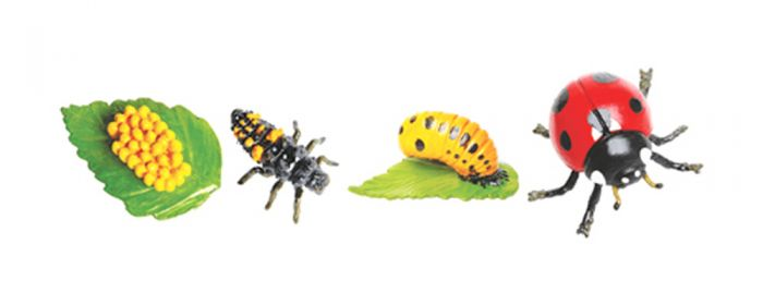 Ladybug Life Cycle Models