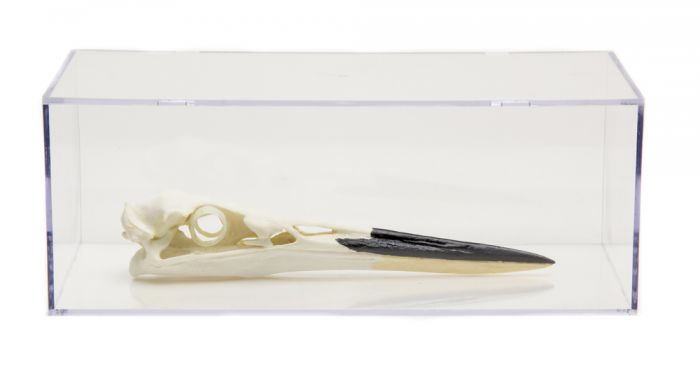 Waterbird Skull Collection with Discounted Museum Display Cases