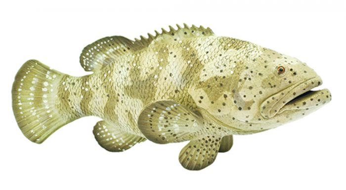 Grouper (Goliath) Model