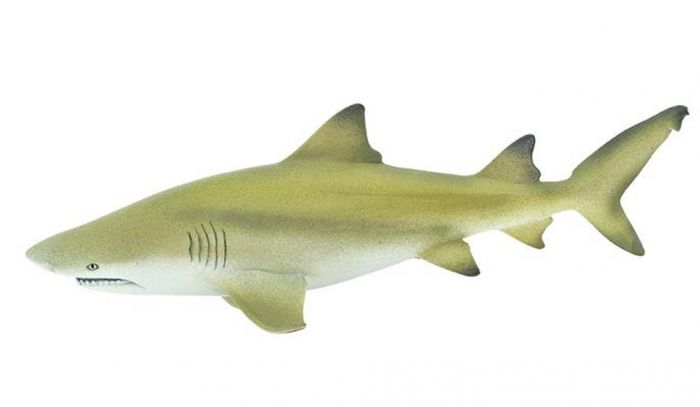 Shark (Lemon) Model