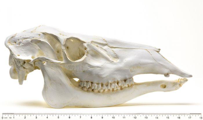 Elk Skull Replica